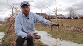 University of Maine Cooperative Extension demonstrates how to prune and train young grape vines.