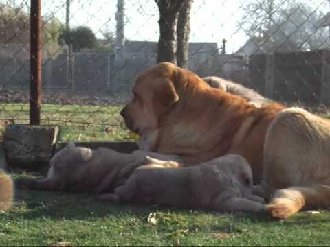 Mastin espanol /Spanish mastiff puppies in kennel Tornado Erben