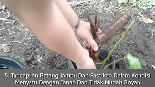 Video Cara Stek Batang Jambu Madu Mdh Tanpa Sungkup MP3, 3GP, MP4, WEBM, AVI, FLV Desember 2018