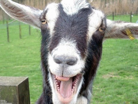 Funny Goats Yelling Just Like Humans