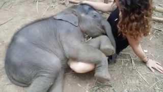 فيل ينام في حضن حسناء تايلندية.. شاهدوا الفيديو!
