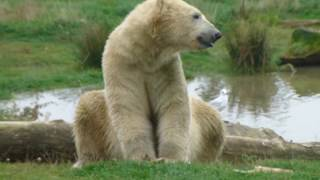 Polar Bear At Yorkshire Wildlife Park Eating Dinner