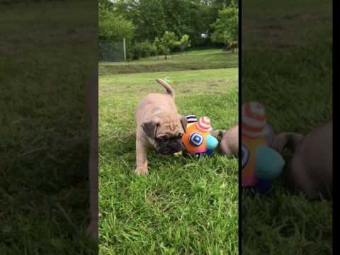 Frenchie Pug puppies
