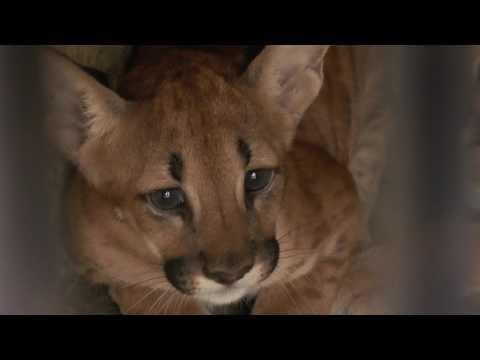 Filhote de onça é mais novo morador do Parque Zoobotânico