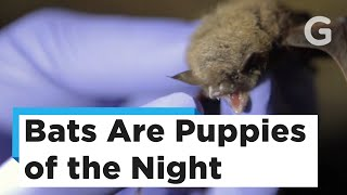 These nocturnal cuties are full of cuddles. Sadly, they're also teeming with disease. While we understand the impulse to snuggle a bat, it'd be in their best interest—and ours—if humans just left them alone.