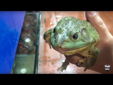 Preparing and Eating Live Frog in Beijing China (Warning - Graphic Food Preparation) (видео)