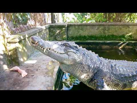 Câu cá sấu, cho cá sấu ăn - Thời lượng: 7:34.