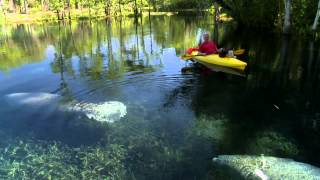 Silver Springs (FL) United States  city images : Silver Springs Manatee