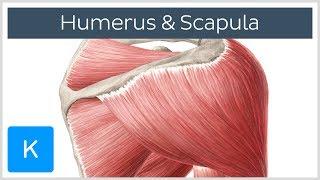 Video Muskeln des Humerus und der Scapula - Anatomie des Menschen |Kenhub MP3, 3GP, MP4, WEBM, AVI, FLV Juli 2018