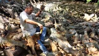Мужик кормит пять сотен игуан