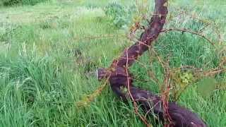 New Norfolk Australia  city photo : Willow Court, New Norfolk Tasmania - Oldest Grape Vine in Australia / Southern Hemisphere