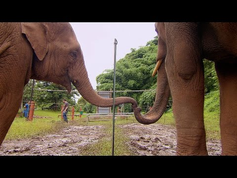 A Couple of Clever Elephants Learn That They Need to Work Together In Order to Solve a