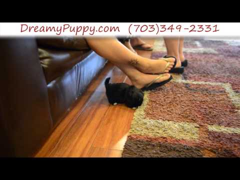 Adorable Teacup Male Pekingese Puppy 2