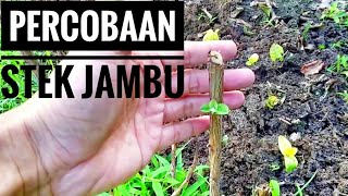 Video Percobaan Stek Jambu Biji MP3, 3GP, MP4, WEBM, AVI, FLV Juli 2018