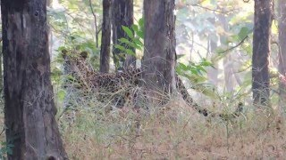 Pench India  city images : Leopard sighting at Pench Tiger reserve India