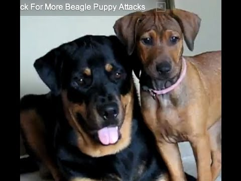 Pitbullpuppies Youtube on Beagle Puppy Attacks Toy  Rottweiler   Co  Amused    Doberman Puppies