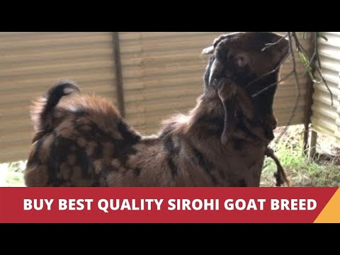 rajasthan goat farming - Sirohi Goat - a goat breed from Rajasthan. For more click on - http://www.indiavideo.org/kerala/travel/sirohi-goat-breed-8953.php.