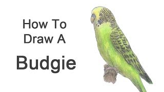How to Draw a Budgie (Parakeet) - YouTube