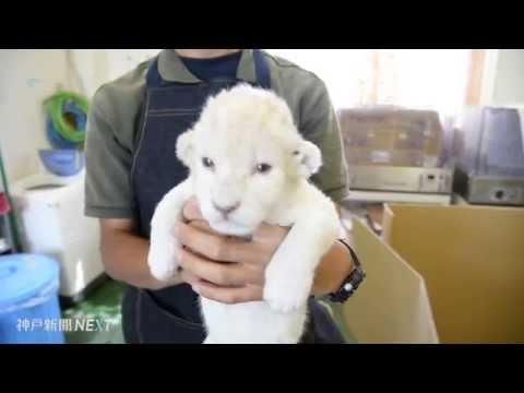 ホワイトライオンの双子赤ちゃん