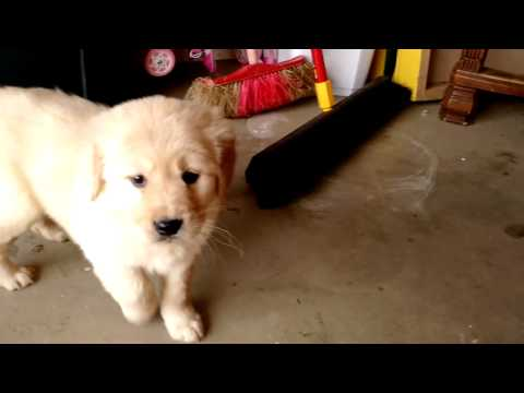 Holly - AKC Golden Retriever - 14 English Cream