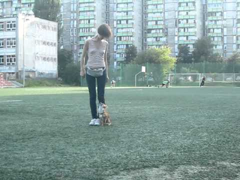 Heelwork chihuahua obedience