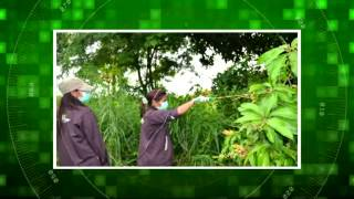 งานวิจัยลดโรคแอนแทรคโนสของมะม่วงน้ำดอกไม้สีทองเพื่อการส่งออก