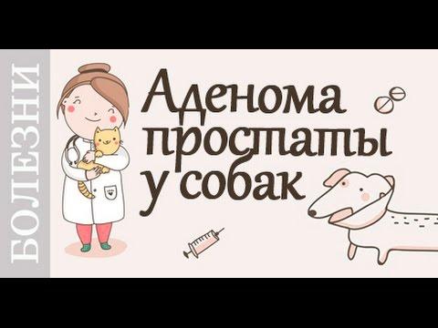 Аденома у собак, симптомы, лечение. Советы ветеринара.