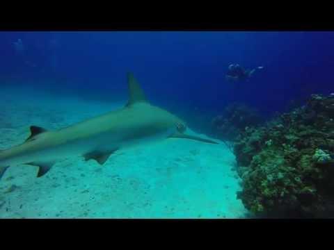 Shark Feed at Split Coral Head - Blackbeard's Cruise 9/16/2015