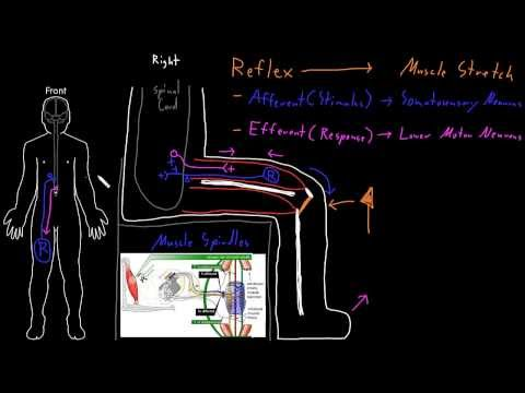 stretch reflex - The parts and process of the muscle stretch reflex as an example of nervous system reflexes.