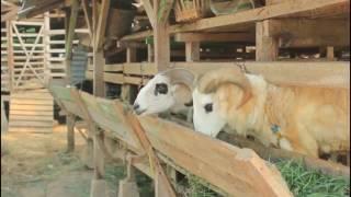 Video kandang sapi kambing kerbau masmanto MP3, 3GP, MP4, WEBM, AVI, FLV April 2019