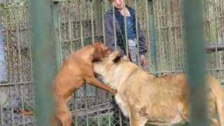 Video Two Lions and a Dog MP3, 3GP, MP4, WEBM, AVI, FLV Juni 2017