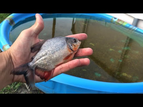 One HUNDRED BABY PACU FOR MY AQUARIUM (THE PACU ARMY)_Aquarium. Best of the week