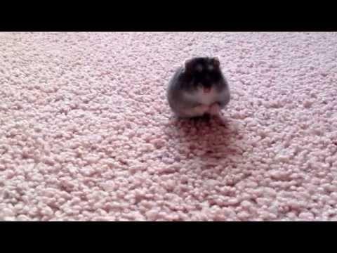 Schattig hamsterfilmpje!