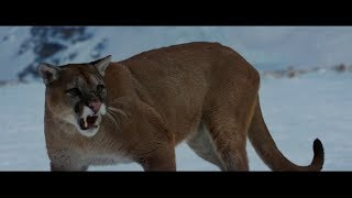 Nonton The Mountain Between Us  2017    Mountain Lion Attack Sene Hd  Film Subtitle Indonesia Streaming Movie Download