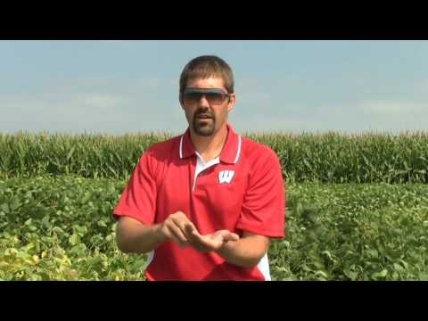 Late season drought stress in soybeans