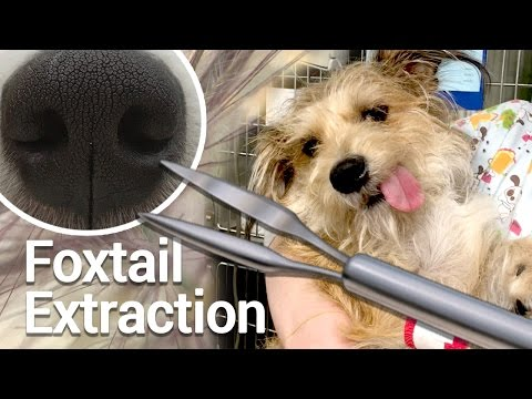 Foxtail Removal From Dog Nose - Benny