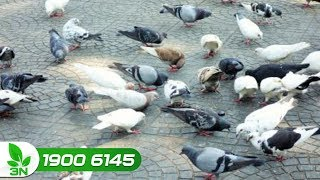 Phòng trị bệnh Newcastle ghép nhiễm khuẩn kế phát cho chim bồ câu