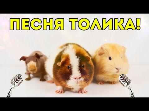 ПЕСНЯ! Морская Свинка Толик Поет: Как Тяжело Быть Свиньей (видео)
