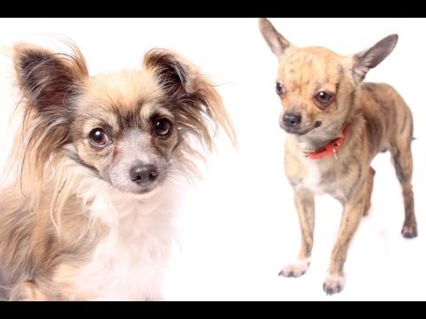 Chihuahua Temperament: You Need to Know the Temperament of Your Chihuahua Puppy