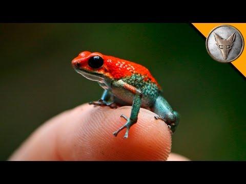 Deadly Poison Dart Frog?
