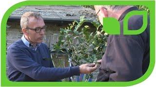Der Zitrusexperte Dr. Dominik Große Holtforth über Mexikanische Limette, Teil 3