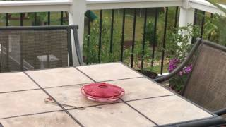 Hummingbird harassed by bumble bee