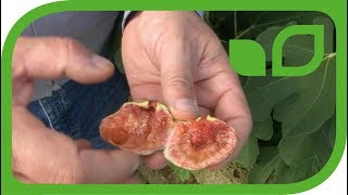 Die Gartenfeige Morena® mit der grössten Fruchtbarkeit