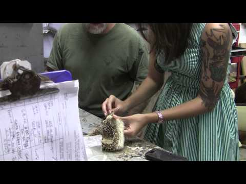Testas Tuesday Tips – Mounting A Hedgehog With Guest taxidermist  Mickey Alice Kwapis