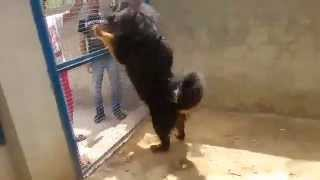 tibetan mastiff in india(punjab)09592361465