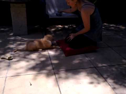 8 weeks Groodle(Golden retriever x Poodle) puppy tricks training day 2