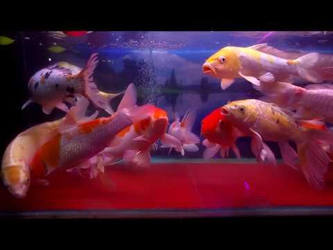 Trại Cá Kiểng Diamond Da - Hàng Sỉ & Lẻ LH: 096.792.1213