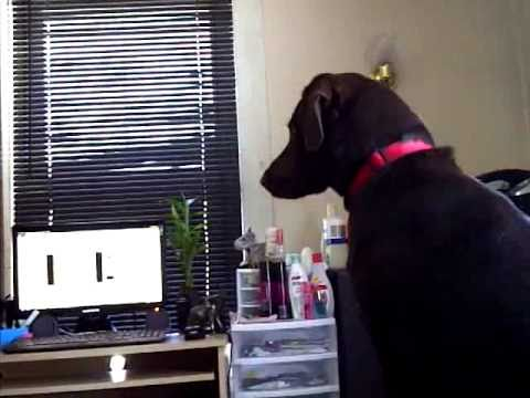 Chocolate Lab Barking at Video