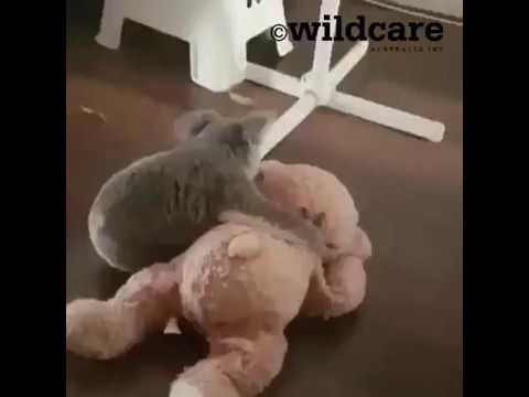 Baby Koala Enjoys Some Playtime on Gold Coast After Rescue