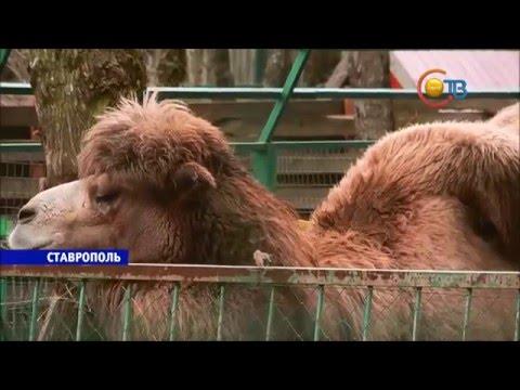 Верблюжонок зоопарк СТВ